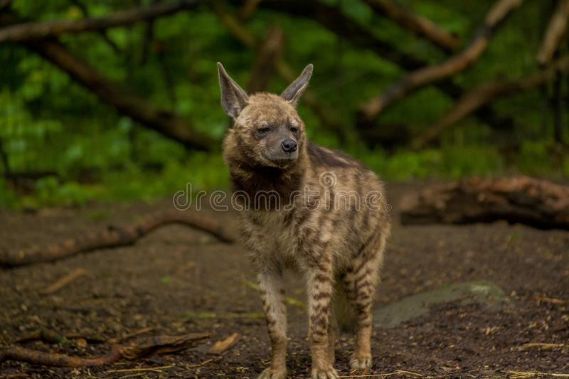 15 05 2019 Berlim, Alemanha Jardim zool?gico Tiagarden A hiena árabe anda através do território à procura do alimento foto de stock