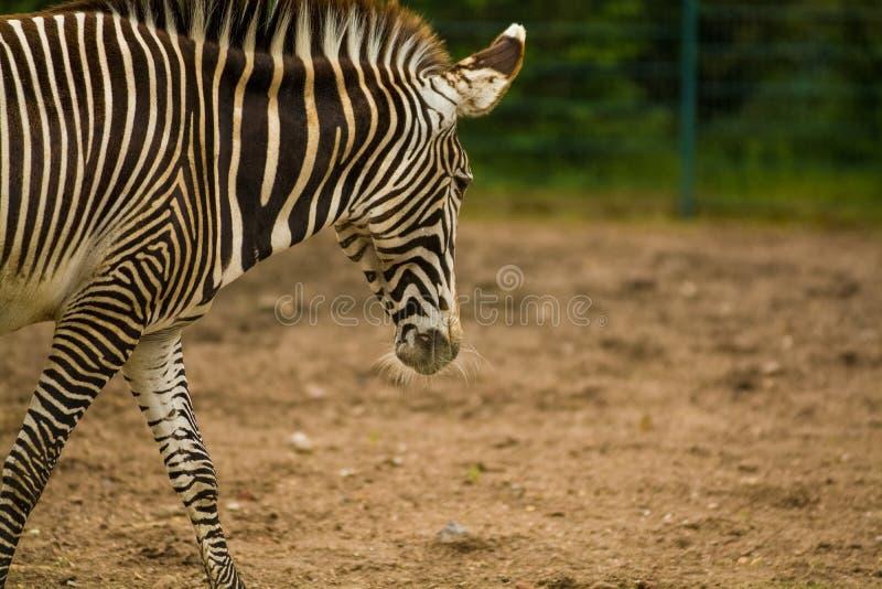 16 05 2019 Berlim, Alemanha No jardim zoológico Tiagarden a família de caminhadas de uma zebra Animais selvagens, cavalos Coma um imagem de stock royalty free