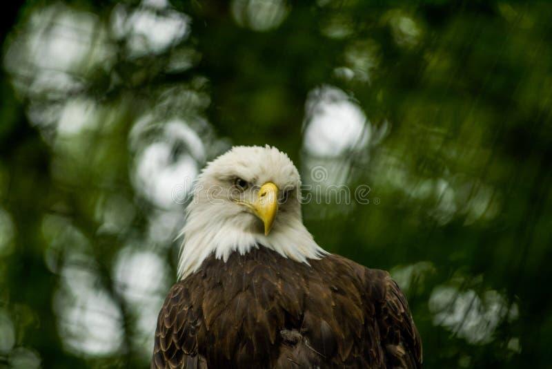 14 05 2019 Berlin, Allemagne Zoo Tiagarden L'aigle repose et observe ce qui se produit parmi des verts autour Grand oiseau sauvag image libre de droits