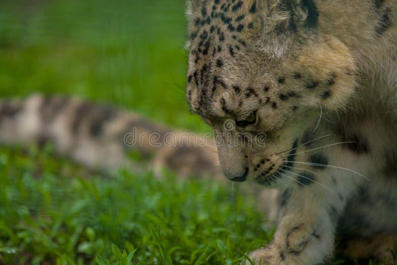 15 05 2019 Berlin, Allemagne Zoo Tiagarden Snow Leopard animal sauvage Promenades paresseuses à travers le territoire photos libres de droits