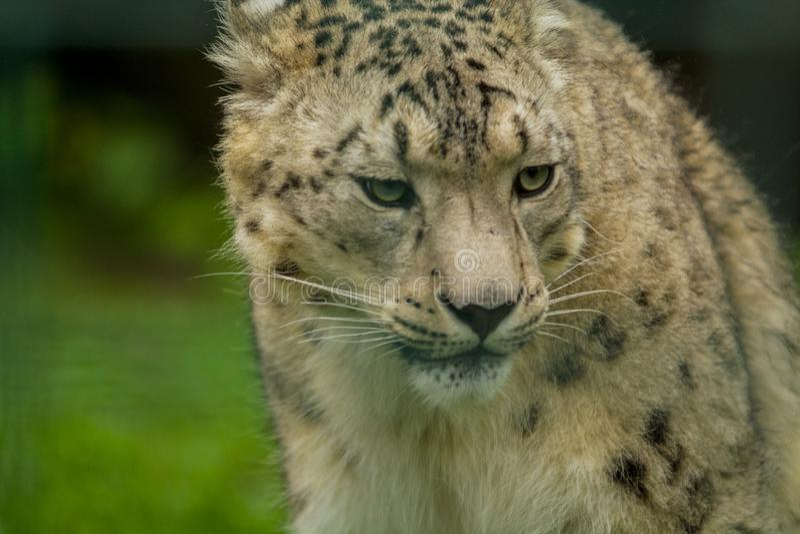 15 05 2019 Berlin, Allemagne Zoo Tiagarden Snow Leopard animal sauvage Promenades paresseuses ? travers le territoire images libres de droits