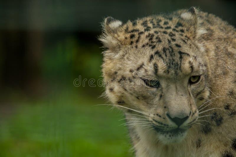 15 05 2019 Berlin, Allemagne Zoo Tiagarden Snow Leopard animal sauvage Promenades paresseuses ? travers le territoire images stock