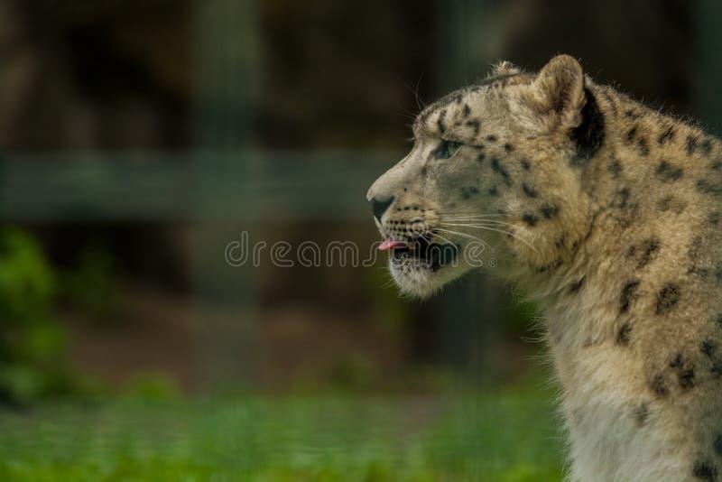 15 05 2019 Berlin, Allemagne Zoo Tiagarden Snow Leopard animal sauvage Promenades paresseuses ? travers le territoire photo libre de droits