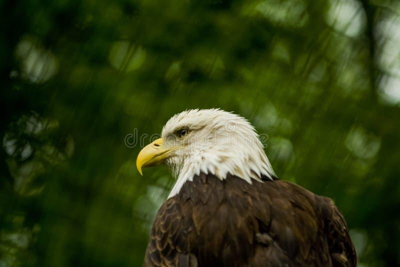 14 05 2019 Berlin, Deutschland Zoo Tiagarden Der Adler sitzt und beobachtet, was unter Gr?ns herum auftritt Gro?er wilder Vogel n lizenzfreies stockfoto