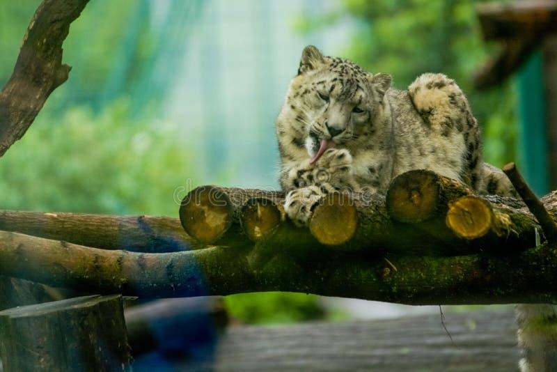 16 05 2019 Berlin, Deutschland Zoo Tiagarden Der Schneeleopard liegt auf Holz unter Gr?ns und ist leckt Tatzen faul Wildkatzen un stockfotografie