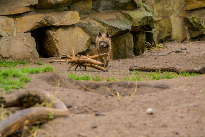 15 05 2019 Berlin, Deutschland Zoo Tiagarden Die arabische Hy?ne geht ?ber das Gebiet auf der Suche nach Nahrung lizenzfreie stockfotos