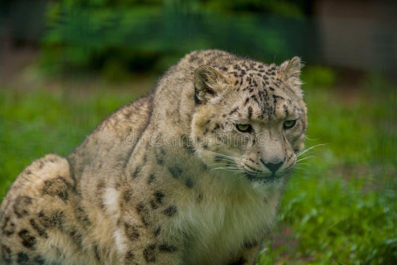 15 05 2019 Berlin, Deutschland Zoo Tiagarden Wildes Tiersnow leopard Faule Wege ?ber dem Gebiet lizenzfreie stockfotos