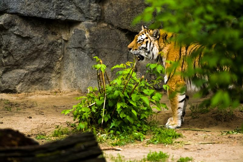16.05.2019. Berlin, Germany. Zoo Tiagarden. A big adult tiger among greens. Wild cats and animals. 16.05.2019. Berlin, Germany. Zoo Tiagarden. A big adult tiger royalty free stock photo
