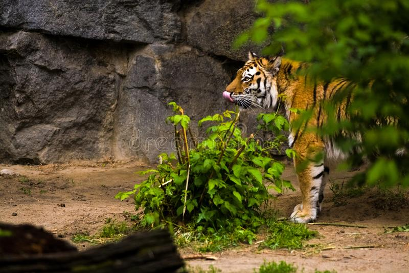16.05.2019. Berlin, Germany. Zoo Tiagarden. A big adult tiger among greens. Wild cats and animals. 16.05.2019. Berlin, Germany. Zoo Tiagarden. A big adult tiger stock photos