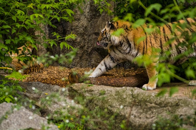 16.05.2019. Berlin, Germany. Zoo Tiagarden. A big adult tiger among greens. Wild cats and animals. 16.05.2019. Berlin, Germany. Zoo Tiagarden. A big adult tiger stock images