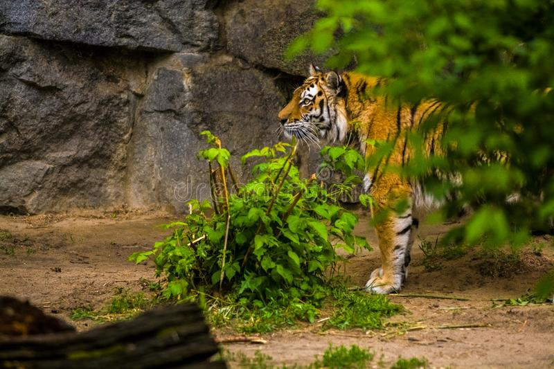 16.05.2019. Berlin, Germany. Zoo Tiagarden. A big adult tiger is lazy lies among greens. Wild cats and animals. 16.05.2019. Berlin, Germany. Zoo Tiagarden. A royalty free stock photo