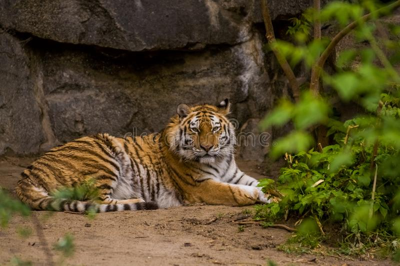 16.05.2019. Berlin, Germany. Zoo Tiagarden. A big adult tiger is lazy lies among greens. Wild cats and animals. 16.05.2019. Berlin, Germany. Zoo Tiagarden. A royalty free stock photos