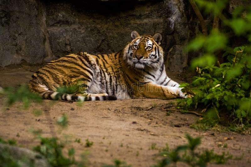 16.05.2019. Berlin, Germany. Zoo Tiagarden. A big adult tiger is lazy lies among greens. Wild cats and animals. 16.05.2019. Berlin, Germany. Zoo Tiagarden. A stock images