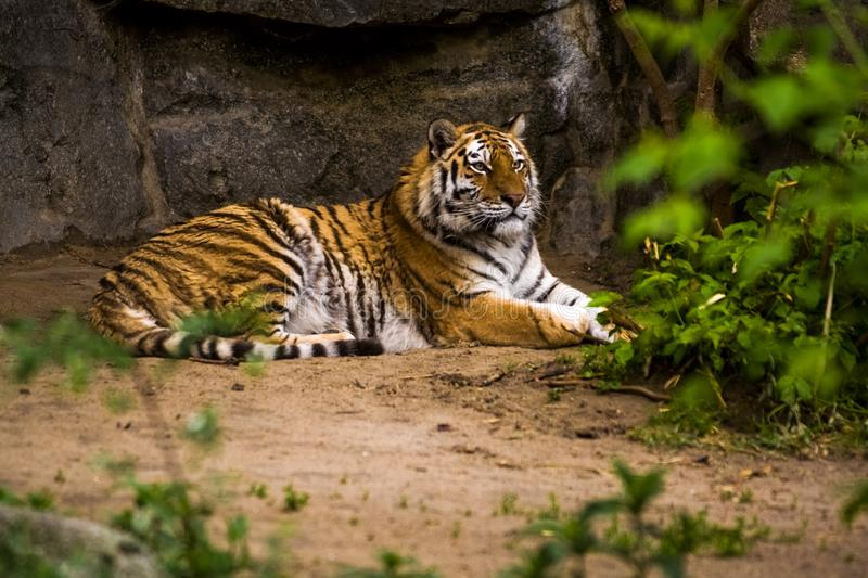 16.05.2019. Berlin, Germany. Zoo Tiagarden. A big adult tiger is lazy lies among greens. Wild cats and animals. 16.05.2019. Berlin, Germany. Zoo Tiagarden. A stock image