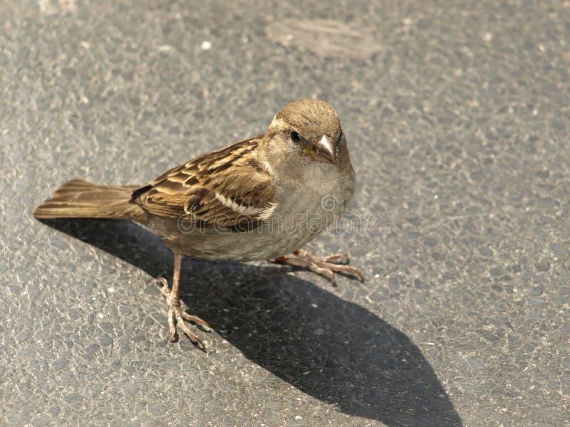 Berlin Spatz - Straßenvogel von Berlin lizenzfreie stockfotos