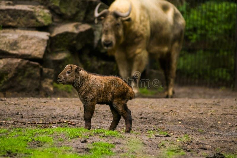 16 05 2019 Berlino, Germania Zoo Tiagarden Il piccolo bambino di un bufalo cammina attraverso il territorio vicino alla famiglia  immagini stock libere da diritti