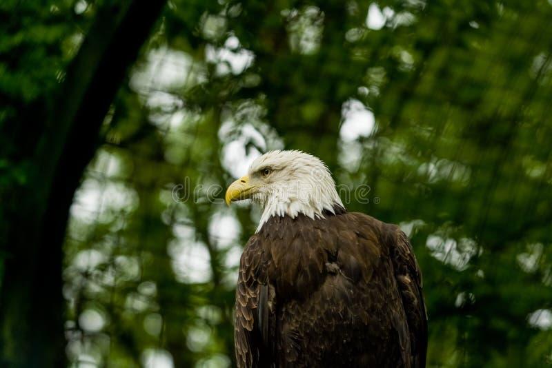 14 05 2019 Berlino, Germania Zoo Tiagarden L'aquila si siede ed osserva che cosa si presenta fra i verdi intorno Grande uccello s fotografia stock