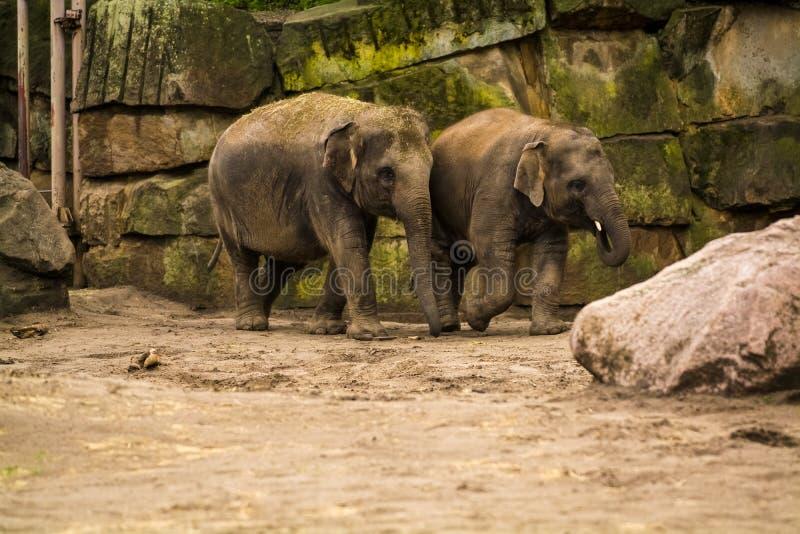 16 05 2019 Berlino, Germania Zoo Tiagarden La famiglia degli elefanti cammina attraverso il territorio e mangia un'erba fotografia stock libera da diritti