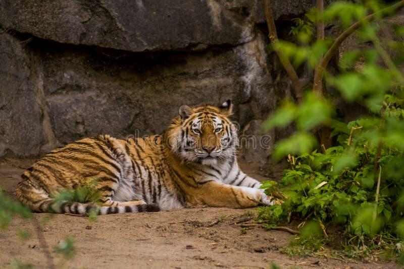 16 05 2019 Berlino, Germania Zoo Tiagarden Una grande tigre adulta ? bugie pigre fra i verdi Gatti ed animali selvaggi fotografie stock libere da diritti