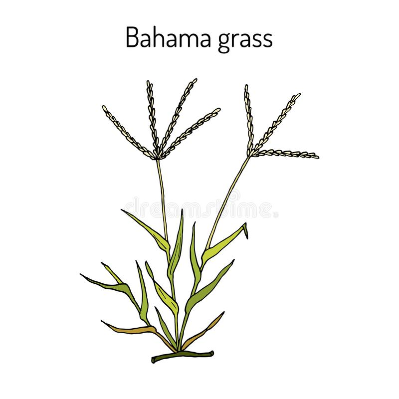 Bermuda or Bahama grass Cynodon dactylon , medicinal plant. Hand drawn botanical vector illustration stock illustration