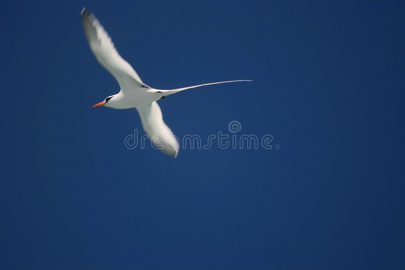 Bermuda Longtail stock photo