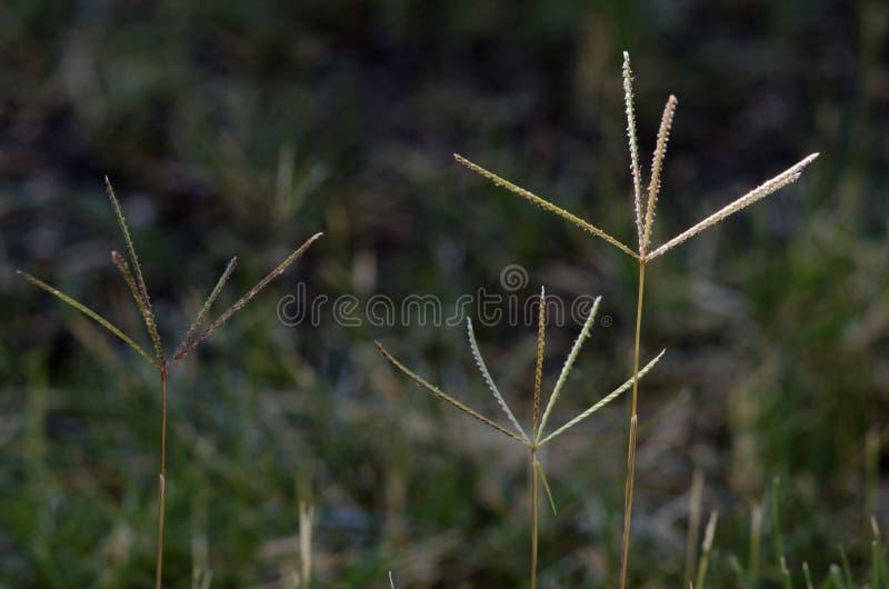 Bermuda Trawy Kwiaty Obrazy Stock