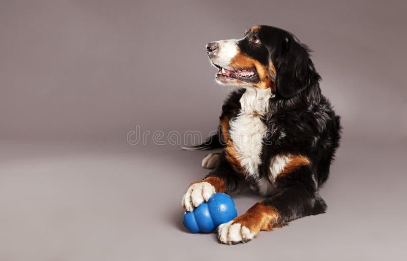 Download Bernard Sennenhund With Chew Toy At Studio Stock Photo - Image: 30883246