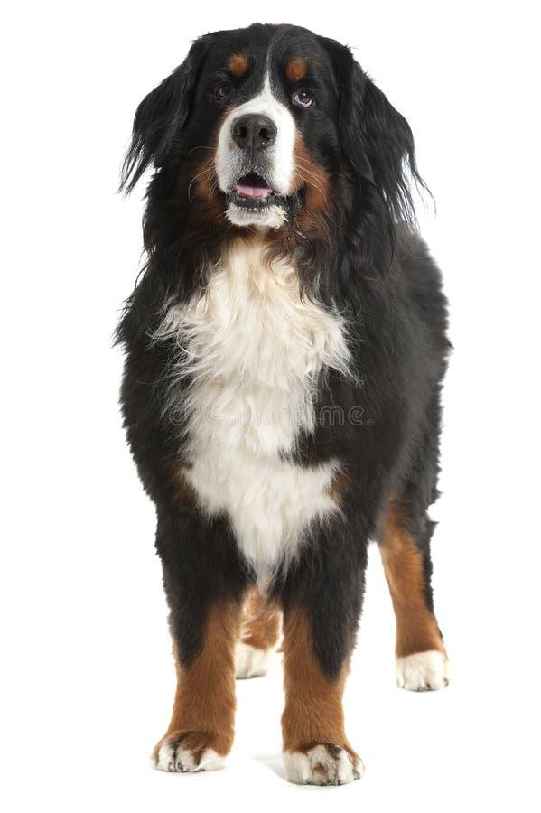 Berner sennen Hund lizenzfreies stockfoto