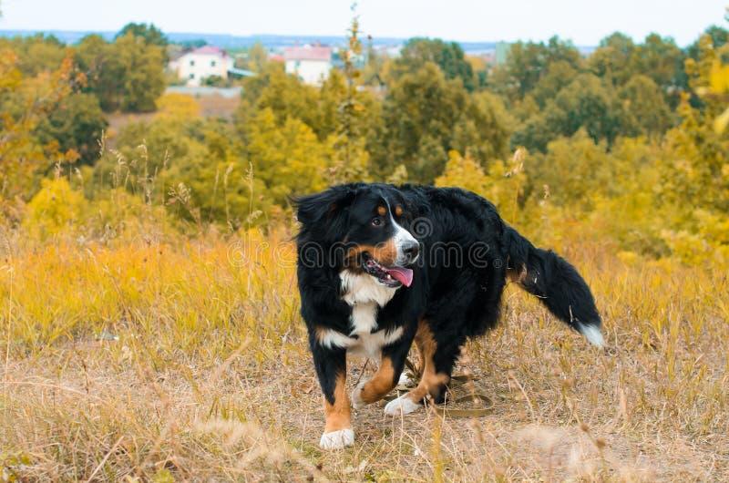 Berner Sennenhund fotografie stock libere da diritti