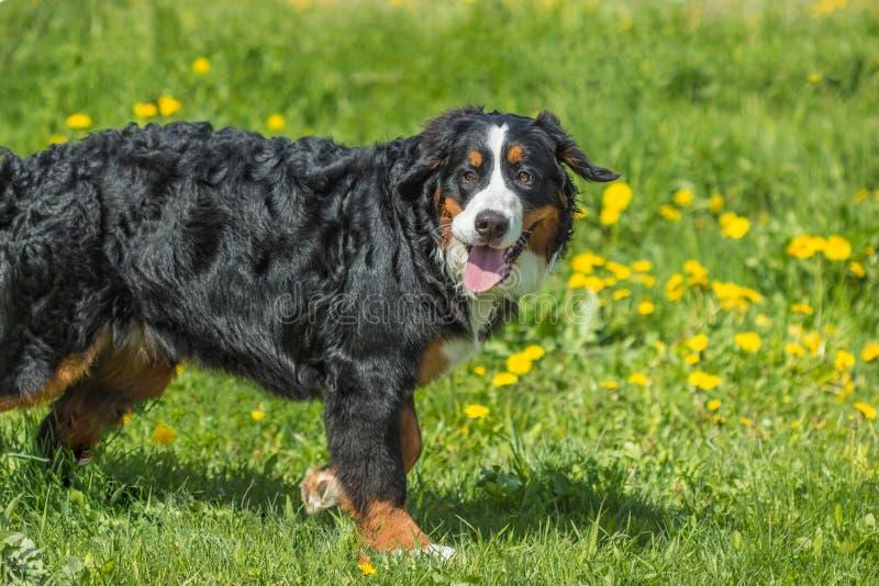 Berner Sennenhund för hund för Bernese berg ung stor hund på gren royaltyfri bild