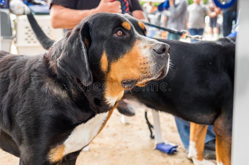 bernese狗山 从瑞士阿尔卑斯的Sennenhund型的狗 库存图片