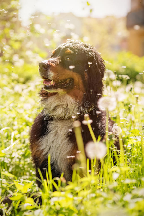 Download Bernese狗山 库存照片. 图片 包括有 本质, 空白, 放松, 宠物, 开会, 投反对票, 草甸, beauvoir - 72353520