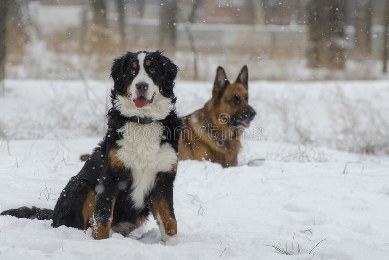 Bernese και καυκάσια σκυλιά ποιμένων στο χειμερινό πάρκο Το χιόνι πέφτει σιωπηλά στοκ εικόνες
