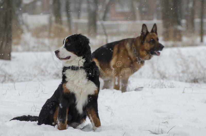 Bernese και καυκάσια σκυλιά ποιμένων στο χειμερινό πάρκο στοκ φωτογραφία με δικαίωμα ελεύθερης χρήσης