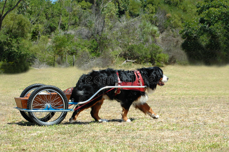 bernese carting гора собаки стоковое фото