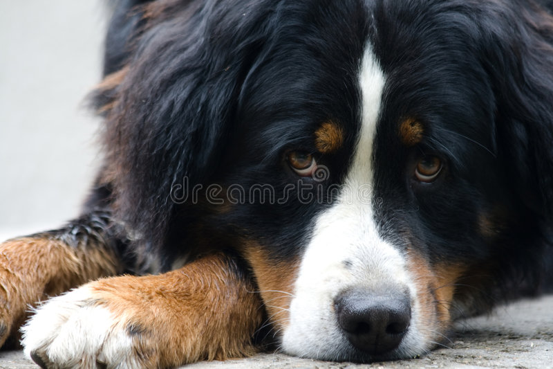 Bernese dog stock images