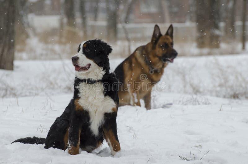 Bernese e o pastor caucasiano Dogs estão correndo em um parque do inverno imagens de stock royalty free