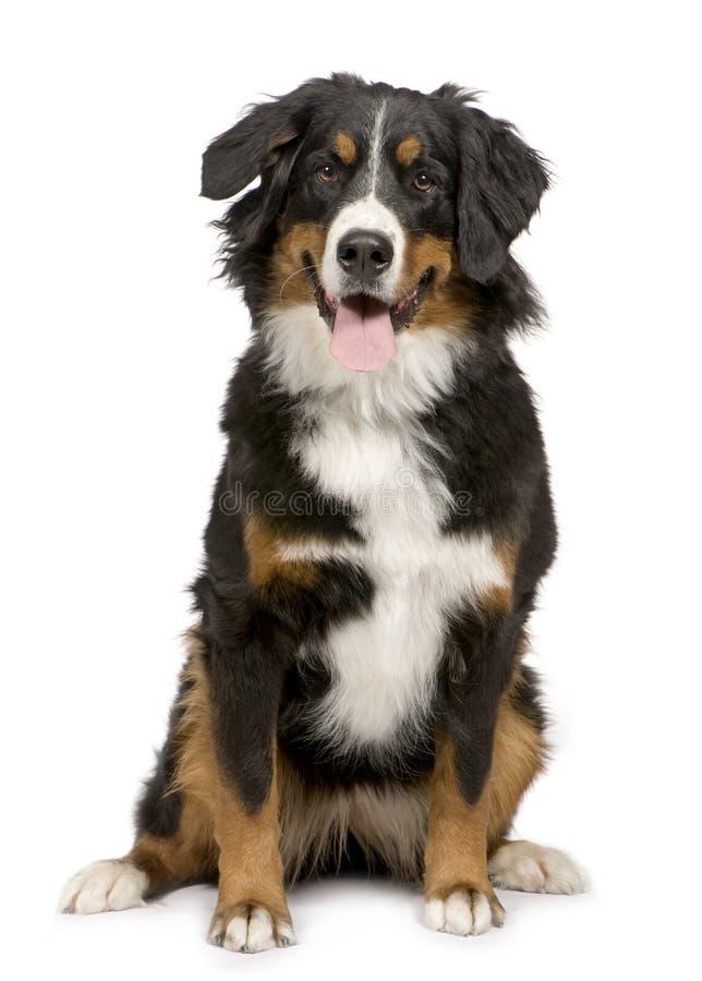 Bernese Gebirgshund (1 Jahr) lizenzfreie stockfotos