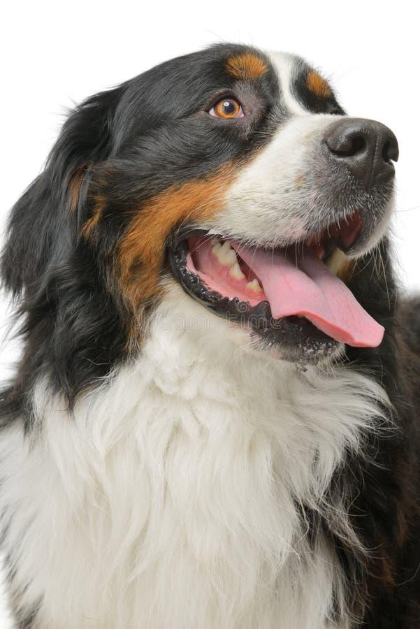 Bernese Gebirgshund stockfotografie