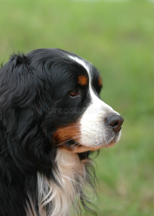 bernese hundberg royaltyfria foton