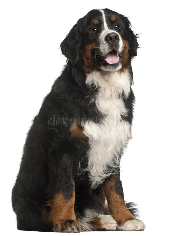 Download Bernese Mountain Dog, 1 Year Old, Sitting Stock Photo - Image of animal, people: 20377152