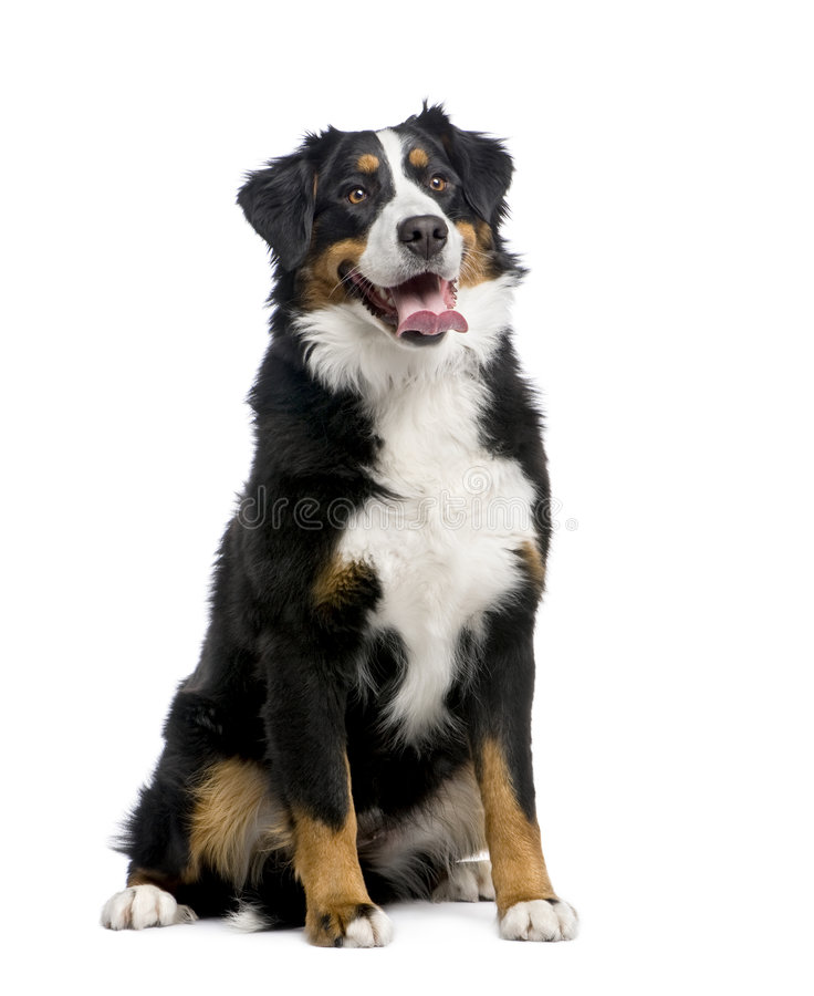Bernese mountain dog (15 months) royalty free stock photography