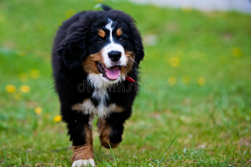 Download Bernese Mountain Dog stock image. Image of confined, pasture - 19512625