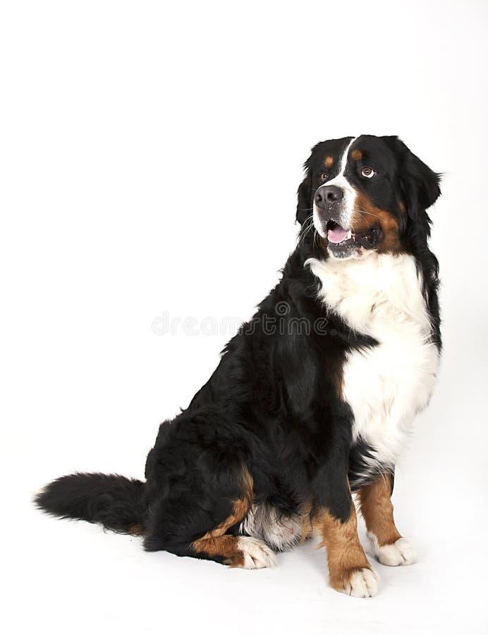 Download Bernese mountain dog stock photo. Image of nature, mammals - 20233948