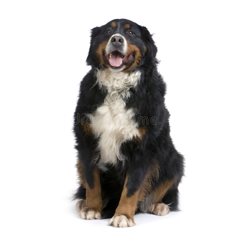 Free Bernese Mountain Dog Stock Images - 2274864