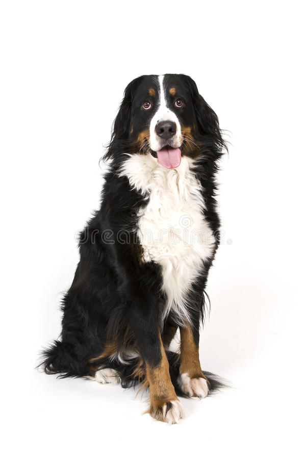 Download Bernese mountain dog stock image. Image of shepard, breed - 23305299