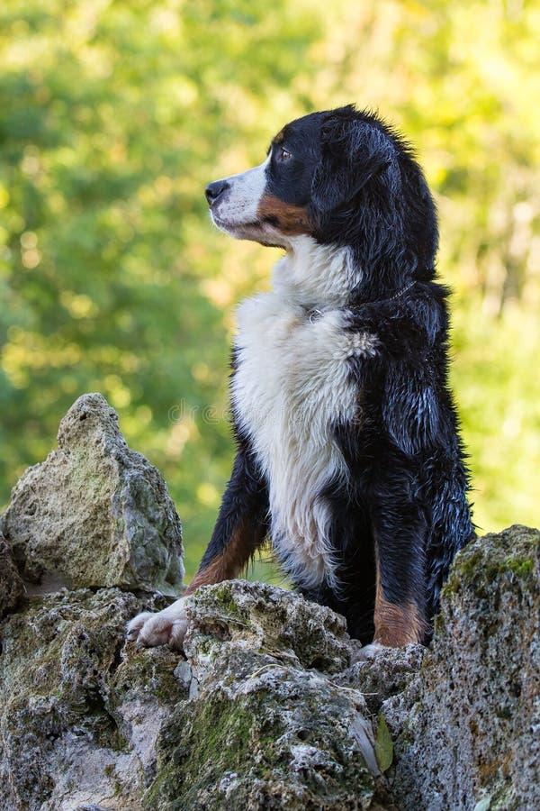 Download Bernese Mountain Dog Stock Photo - Image: 26768800