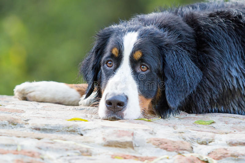 Download Bernese Mountain Dog stock image. Image of wool, bernese - 26768945