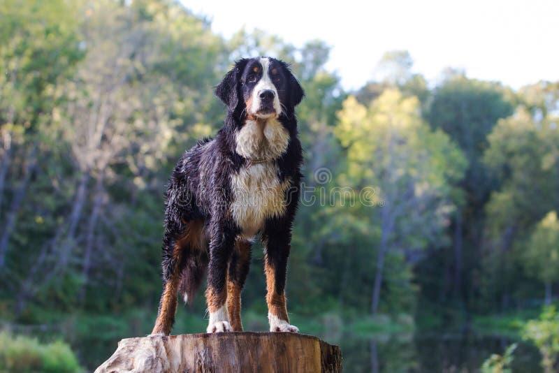 Download Bernese Mountain Dog Royalty Free Stock Photo - Image: 26768995