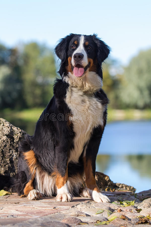 Download Bernese Mountain Dog stock photo. Image of autumn, plant - 26769348